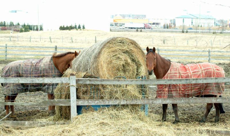 наши лошадки-просто гуляют...:)