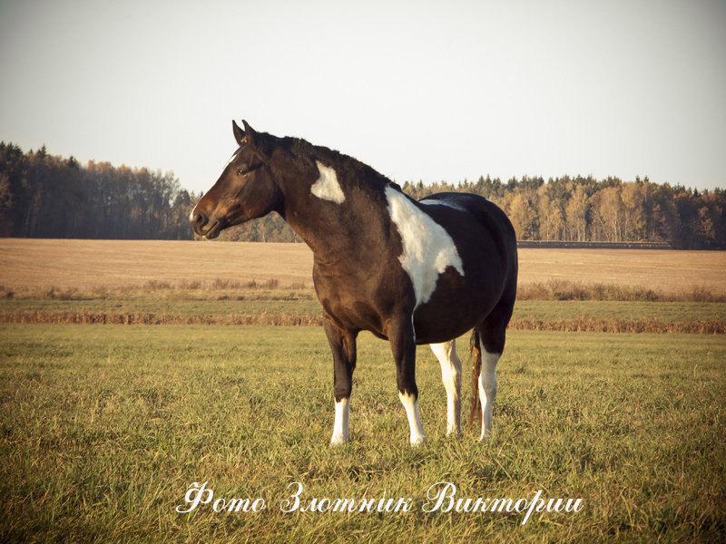 Белорусская упряжная лошадь, фото фотография