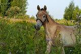 Башкирский жеребчик в пони спорт