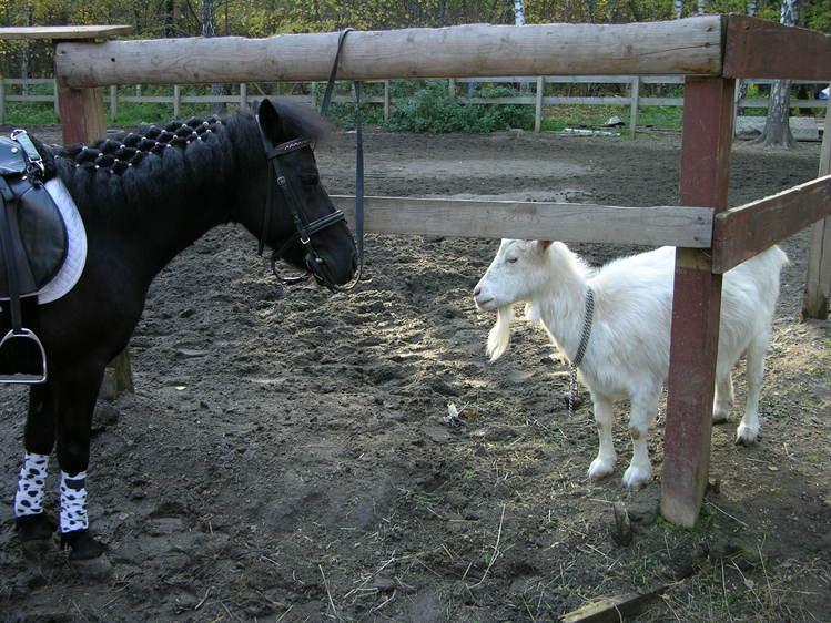 пони+коза)