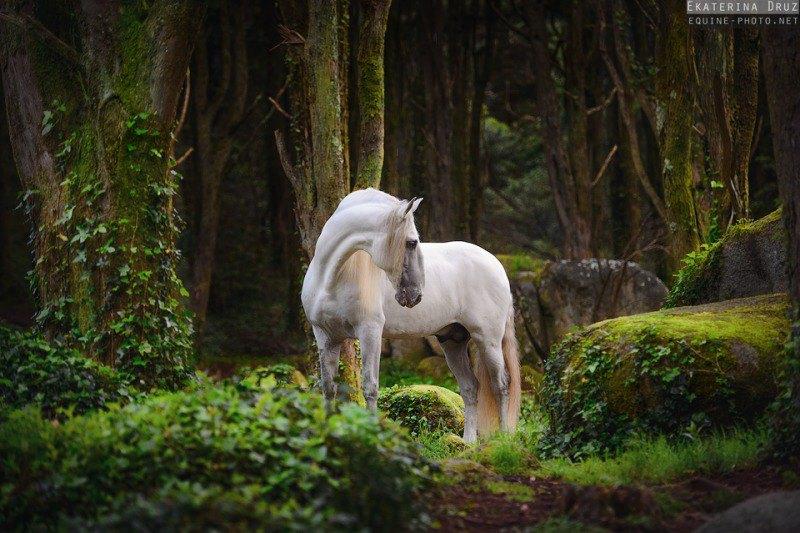 Лузитано в волшебных лесах Синтры, Португалия