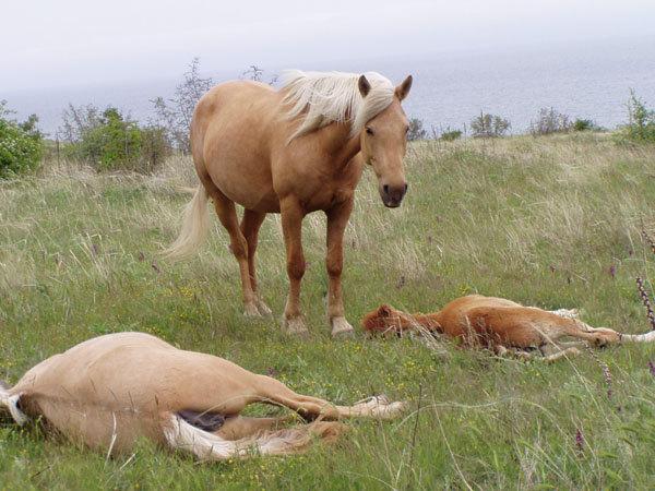 """снова лисья. у лошади, которая стоит, виноватый вид: """"Я их не убивала!"""""""
