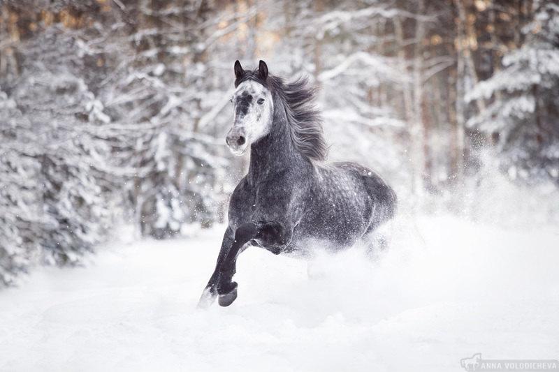 Прекрасный зимний день. На фотографии жеребец по кличке Звездный Путь. Орловский рысак, 2012 г.р.