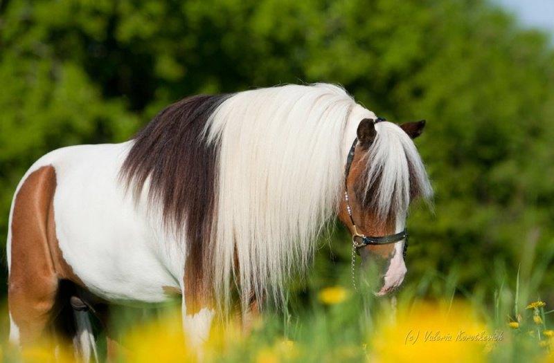 Чемпион Америки, абсолютный Чемпион породы на Иппосфере, роскошный жеребец- производитель ,Американская миниатюрная лошадь. Предлагается для случки. Принадлежит ЧК Идальго.