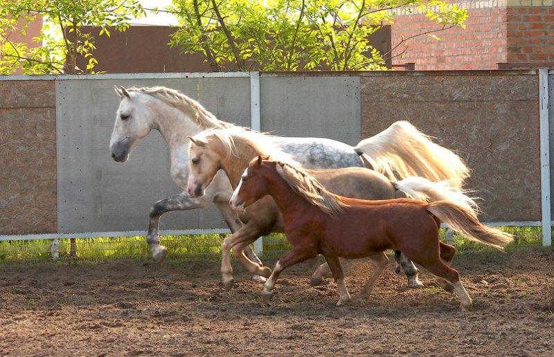 Орловский рысак Перламутр, уэльские пони секции А и В