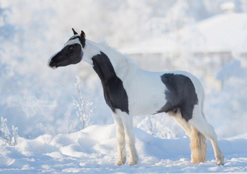 DVM HEZ GOT SWAG, Американская миниатюрная лошадь,молодой жеребец-производитель фермы Идальго. Импорт из США.Уникальные крови.Современный тип,редкая масть и безупречный экстерьер.Это вполне в духе нашей фермы-или лучшее,или ничего!  Сайт http://mini-pony.