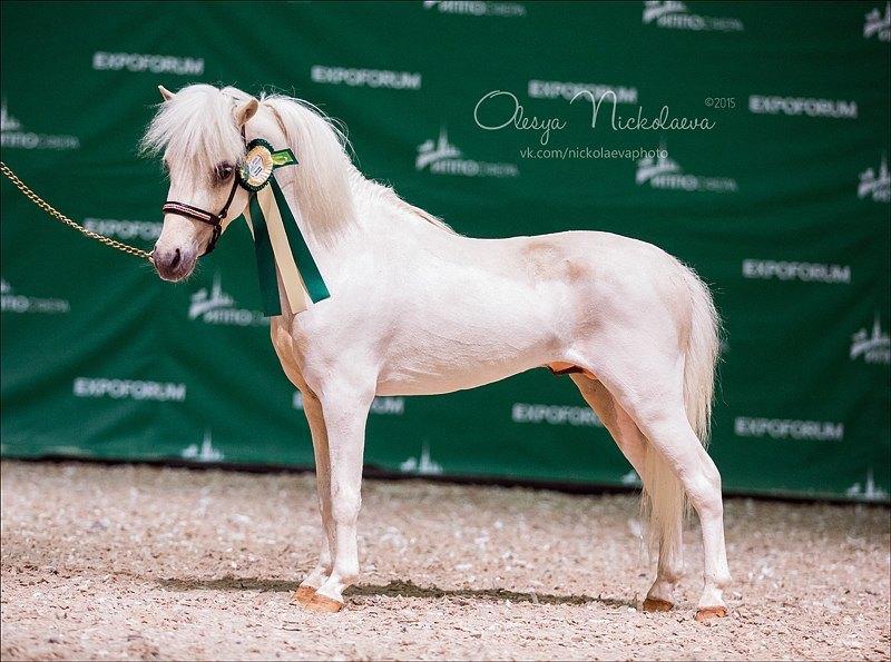 Продается солово пегий жеребец шоу класса. Американская миниатюрная  лошадь.
