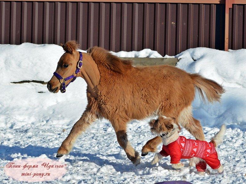 Мини лошадка ,жеребчик Бинго,для продажи!