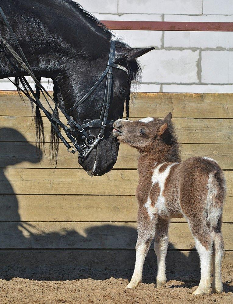 Крошечный малыш HF Happy Monday,рожден на ферме Идальго