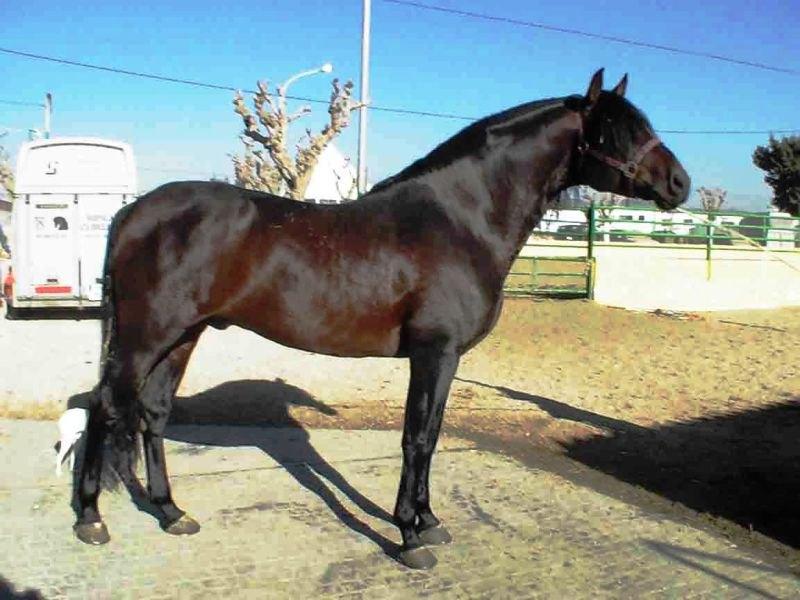 Очень хороший представитель породы (PRE) с очень знаменитым в Испании тавром выездкового рода DEL DIABLO