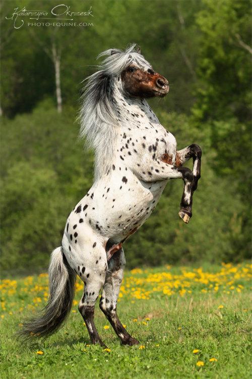 Appaloosa pony stallion. Russia