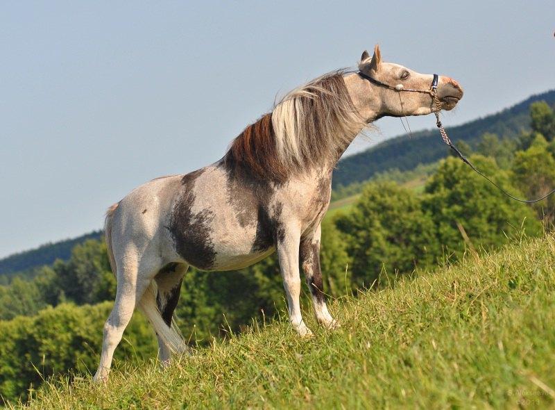 Американская миниатюрная лошадь, матка ПФ Идальго.