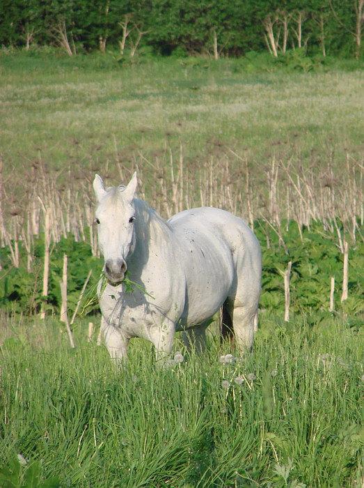 зелёная луговая трава и солнечно-белая лошадь...