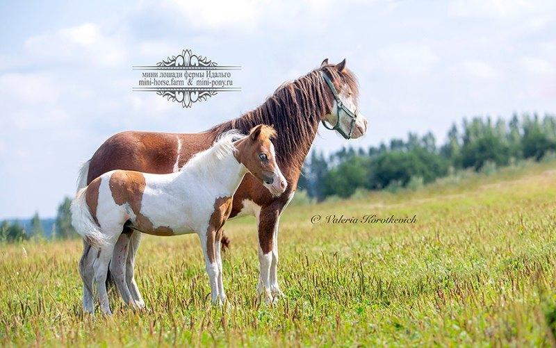 Мини-лошади, мини-пони, минихорсы, пони для продажи. Доставка в любую точку мира!