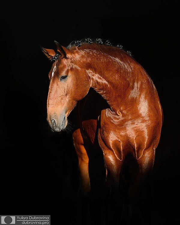 Барочные кони идеальны для фотографии, позирует жеребец лузитано