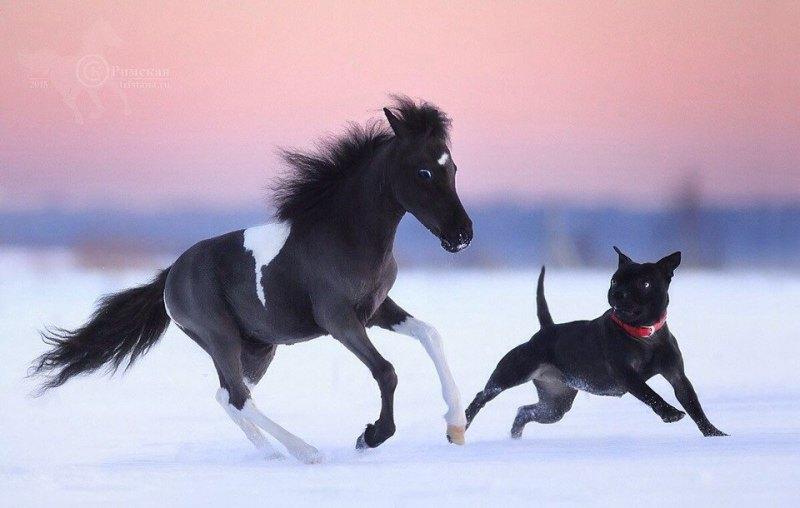 Элегантная американская миниатюрная лошадка Fairy Tail рождена на ферме Идальго.Продается!