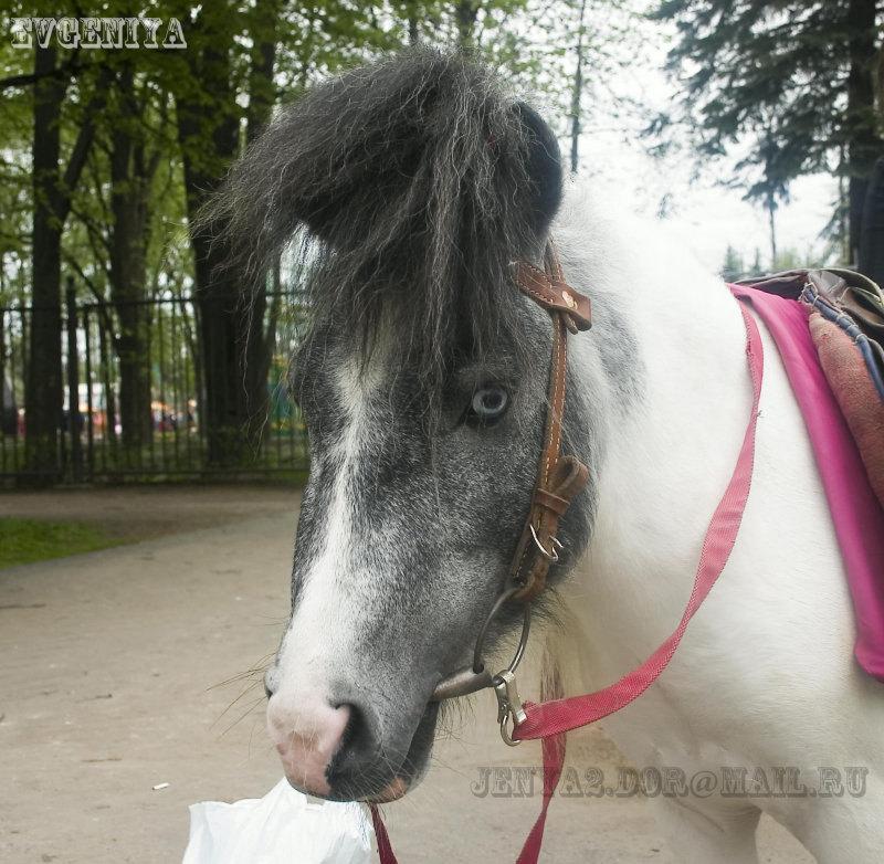 Вороно-пегая пони из Санкт-Петербурга. Диво остров.