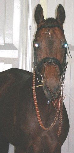 ахалтекинская порода,масть гнедая,год 2003