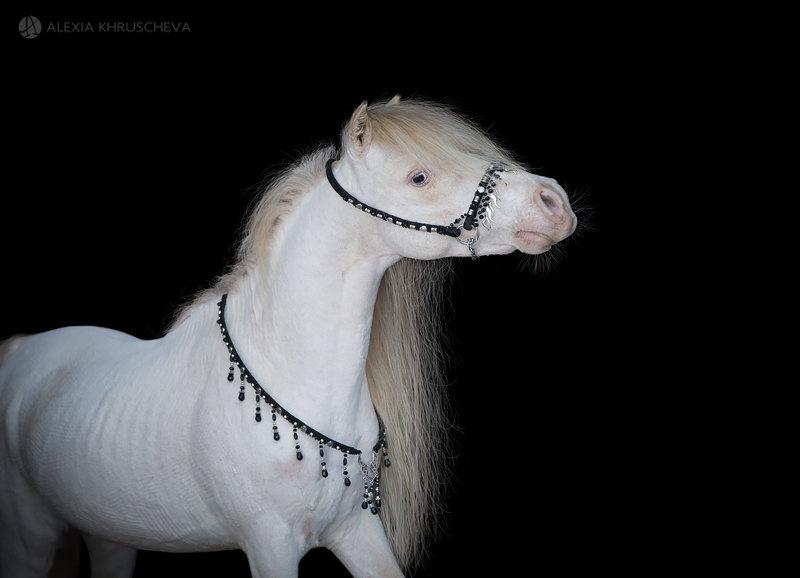 Американская миниатюрная лошадь,жеребец  Echos Cool Buck,импортирован из США,сын Мульти-Чемпиона Мира!! Новый производитель фермы Идальго!!