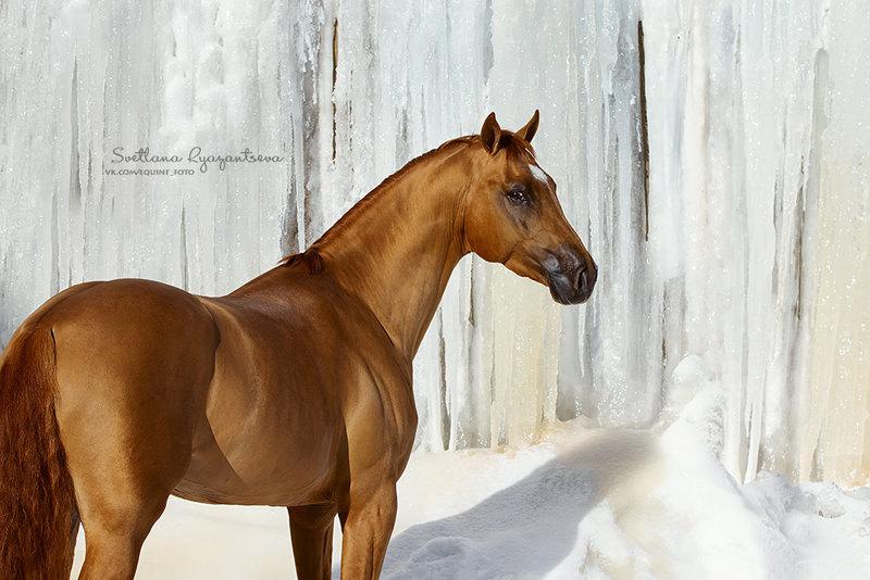 Буденновский жеребец Искандер (Избранник - Дриада)
