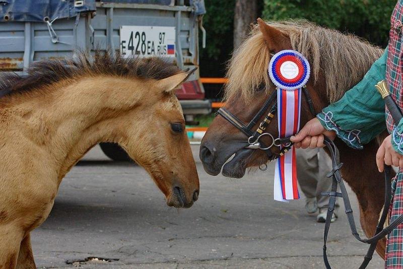 ... пытался познакомиться с большой пони, но был прогнан (Эквирос-2009)