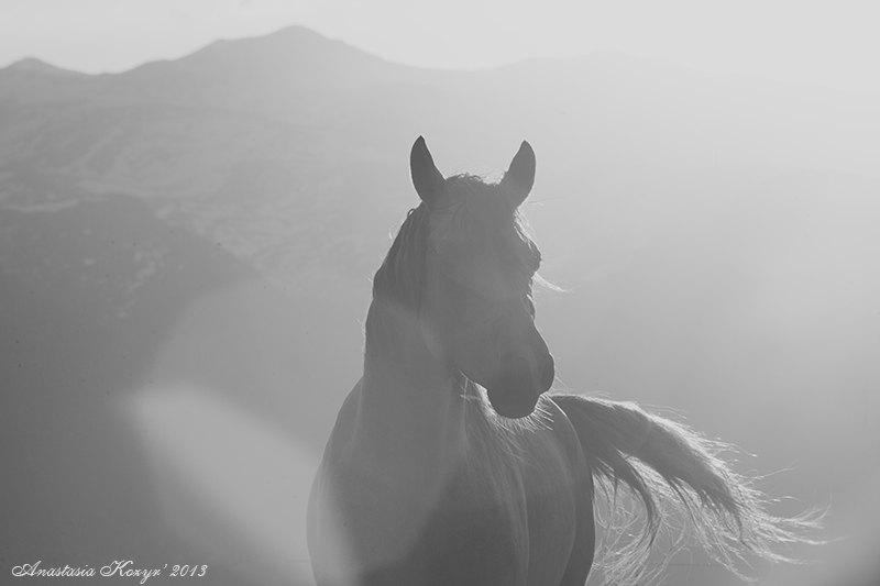 Арабский жеребец Нариф на закате, владелец Мурат Хубиев, КБ Орайда
