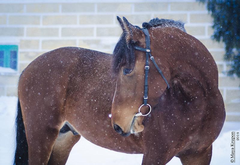 Трехлетний жеребец в Хреновском конном заводе.