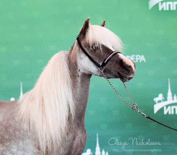 AMHA - Американская миниатюрная лошадь, импорт из Америки, Чемпионка, матка ПХ Идальго