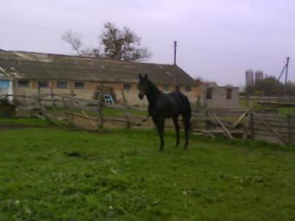 Мел, это лошадь с характером к нему подобрать ключи очень сложно, но если это удастся то для того кто это сделал он станет настоящим другом.