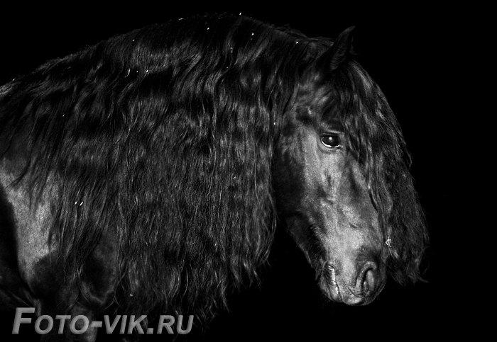 попытка снять вороную вертлявую лошадь на черном фоне =) / Йерке, п/ф Карцево