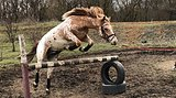 Адекватный, живой, станет украшением любой конюшни