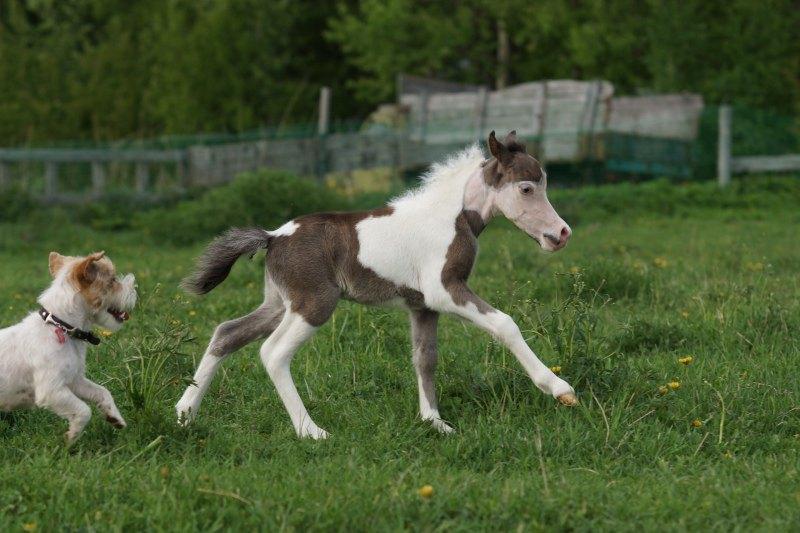 Американская мини лошадь,жеребчик HF Swag's Cayman,голубоглазое чудо.