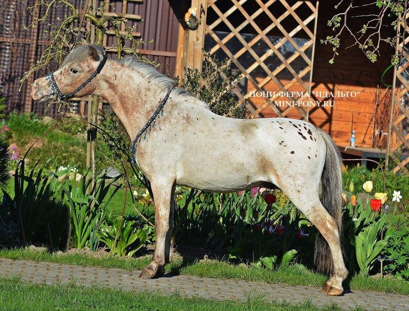 ПРОДАЕТСЯ замечательный жеребчик Хоки,50% АМНА,идеальо обучен,знает цирковые трюки,запрягается ,находится на ферме Идальгоhttp://mini-pony.ru
