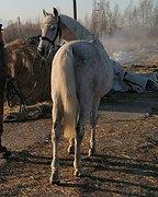 Юношеский конь