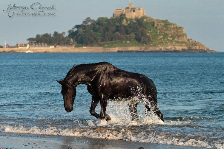 Friesian mare. UK