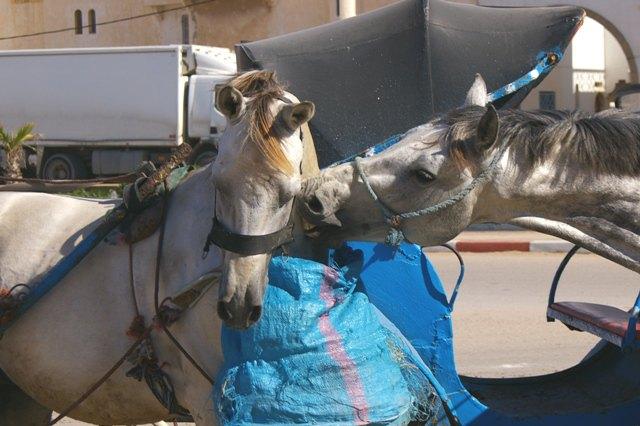 лошади из Марокко