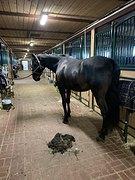 Стрижка/бритье лошадей