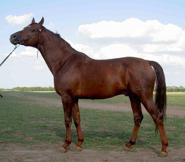 арабо-донской жеребец-производитель конного завода им. С.М.Буденного