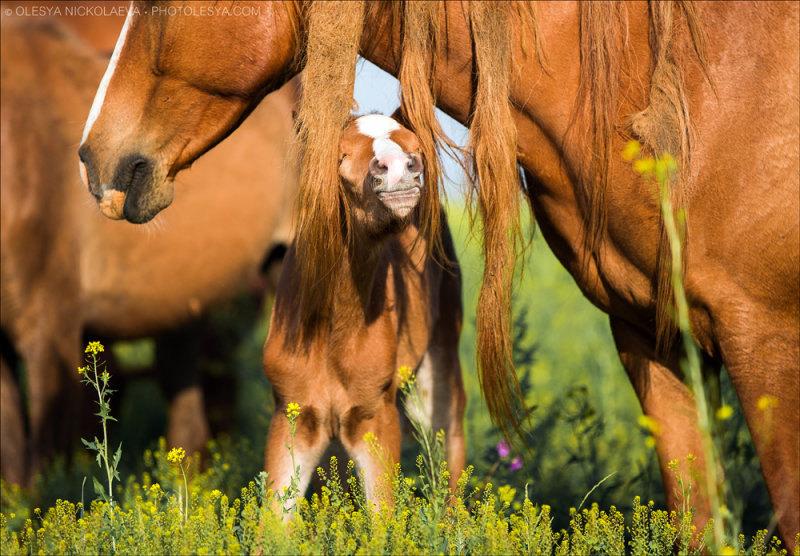 У мамы такая длинная грива, что в ней можно спрятаться :)  ну, почти спрятаться... Среди дикого табуна не редкость увидеть длинную гриву, порой и с дредами ходят. Но длина разнообразна, от средней и почти до самых копыт. (остров диких лошадей)