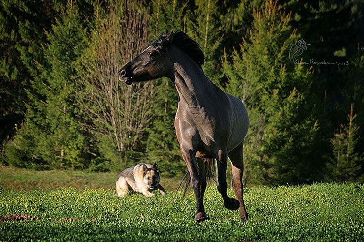 Вятская кобыла Богема и немецкая овчарка Гранда