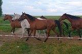 Арабские чистопородные лошади