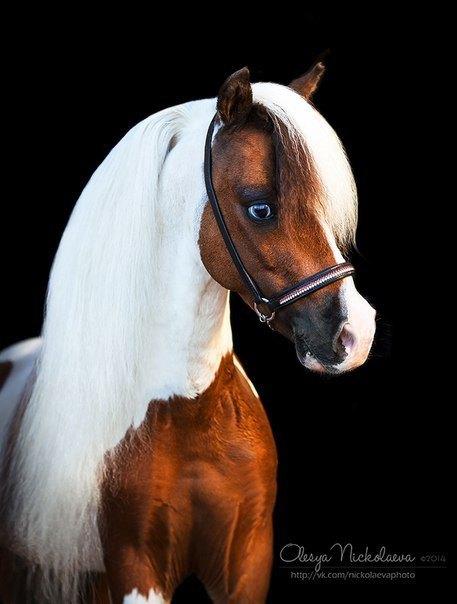 Американская миниатюрная лошадь, жеребец- производитель Идальго. http://mini-pony.ru