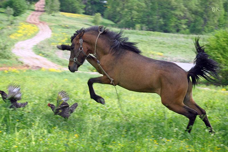 Ни одна курица не пострадала:) На фото вятко-пони Гламур