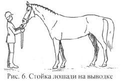 Стойка лошади на выводке