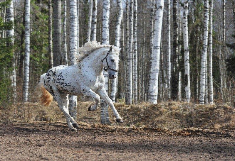 Алтайский жеребец. Фото Иван Тостов
