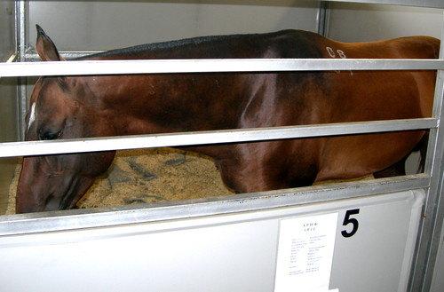 ахалтекинская порода,масть гнедая,год 2004,место рождения ооо велес 3