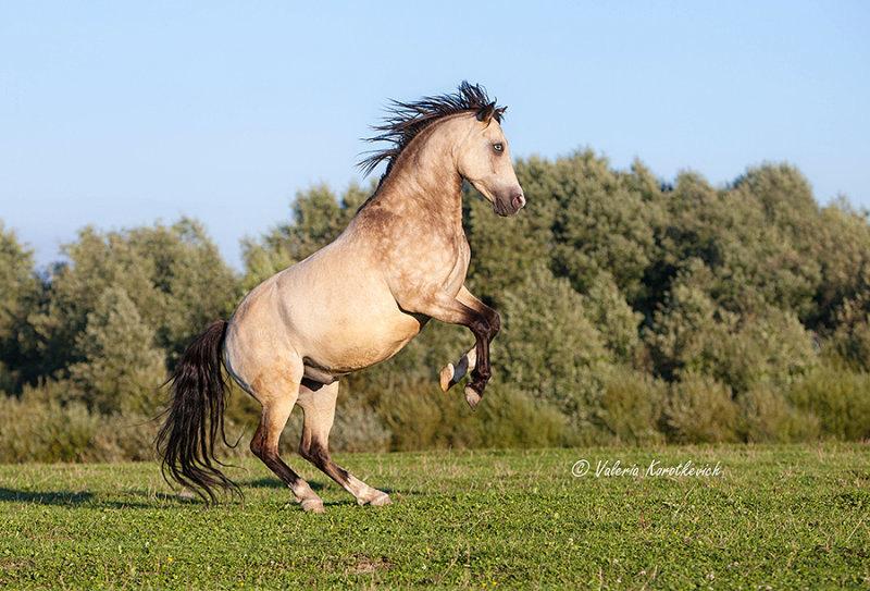 Мерин арабо-пони Бриллиант