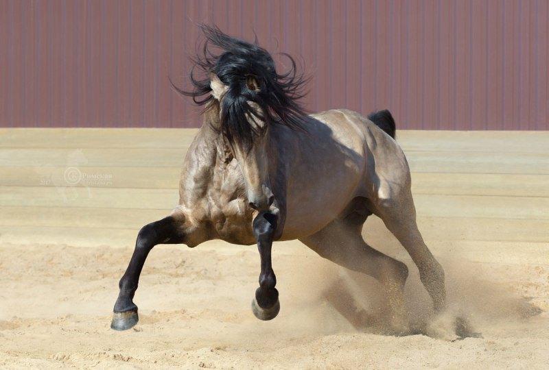 Испанская страсть от невероятного буланого Gaspar AG Жеребец принадлежит ферме Идальго http://mini-pony.ru