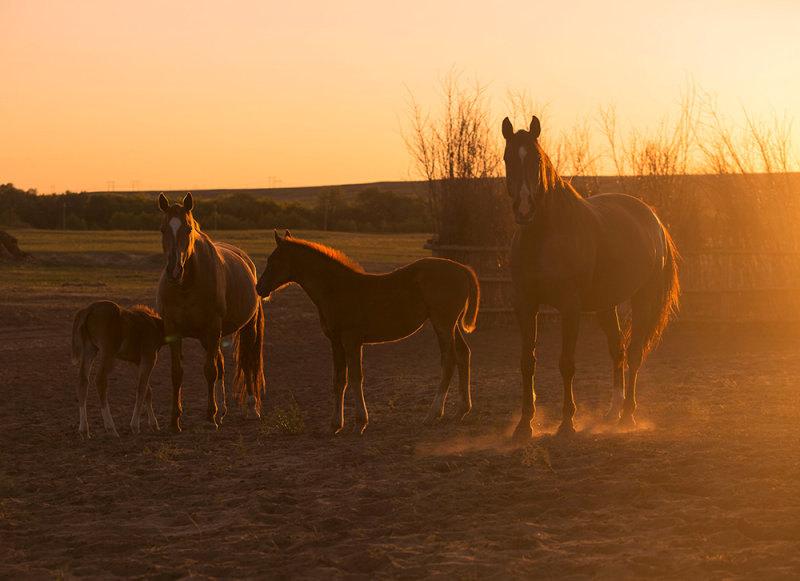 Донские конематки Казачьего конного завода