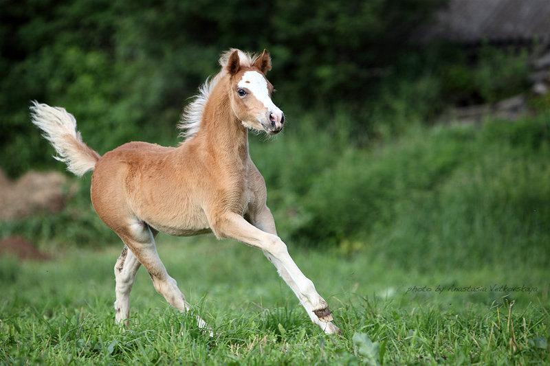 Daily Dream by Verona - уэльская кобылка пони